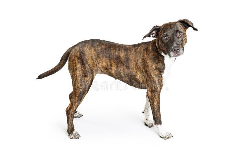 Σκυλί διασταύρωσης μπόξερ Brindle πέρα από το λευκό στοκ φωτογραφία
