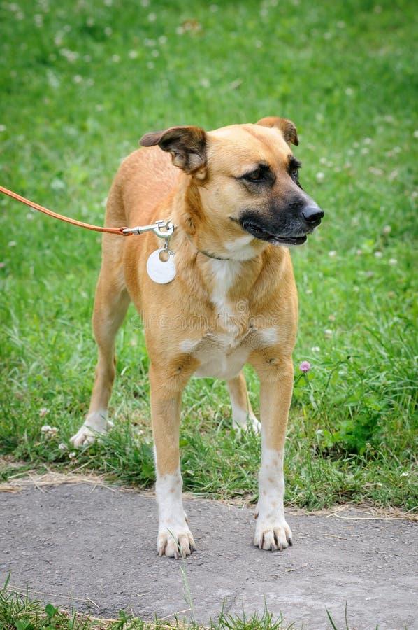 Σκυλί κατά τη διάρκεια του περπατήματος στοκ φωτογραφία με δικαίωμα ελεύθερης χρήσης