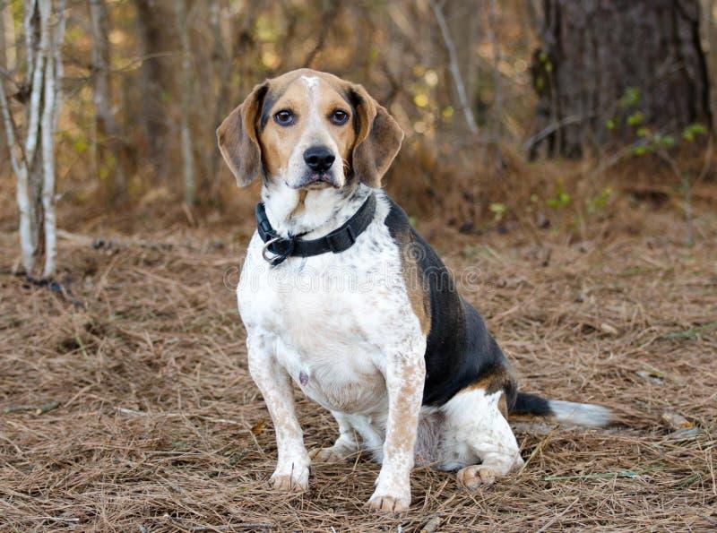 Σκυλί κουνελιών λαγωνικών στοκ φωτογραφίες