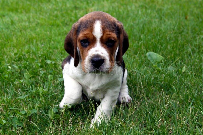 Σκυλί κουταβιών λαγωνικών στοκ φωτογραφία με δικαίωμα ελεύθερης χρήσης