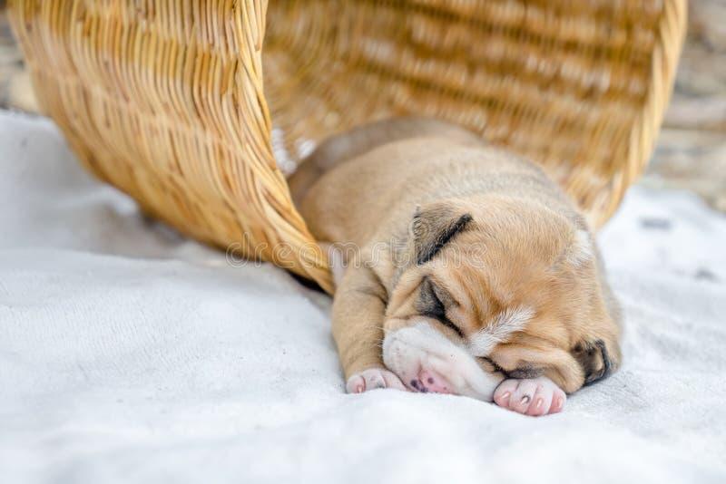Σκυλί κουταβιών πίτμπουλ στοκ φωτογραφίες