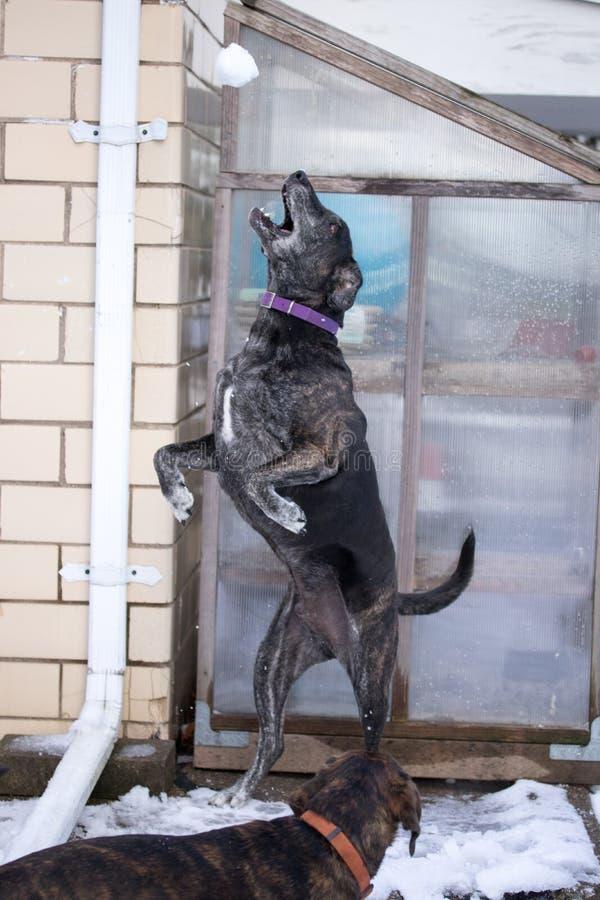 Σκυλί κουταβιών που πιάνει τη χιονιά στοκ εικόνες
