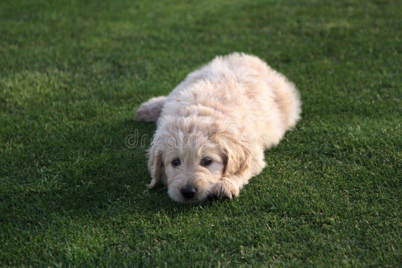 Σκυλί κουταβιών Goldendoodle στη χλόη στοκ εικόνα