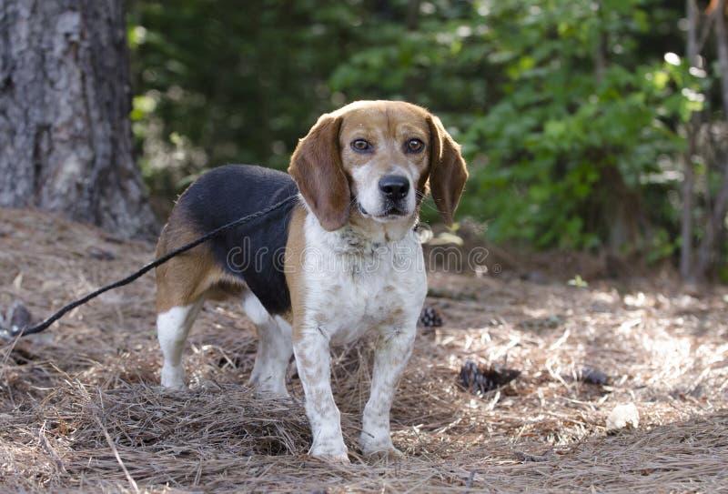 Σκυλί κυνηγιού κουνελιών λαγωνικών στοκ φωτογραφία με δικαίωμα ελεύθερης χρήσης