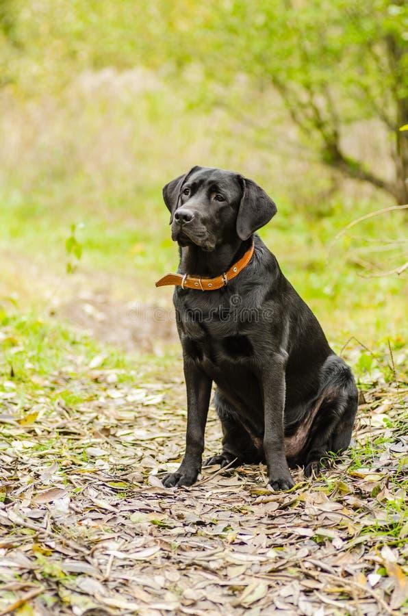 Σκυλί, Λαμπραντόρ, ο Μαύρος, κατοικίδιο ζώο, πίστη, φιλία, πορτρέτο, ζώο στοκ εικόνες με δικαίωμα ελεύθερης χρήσης