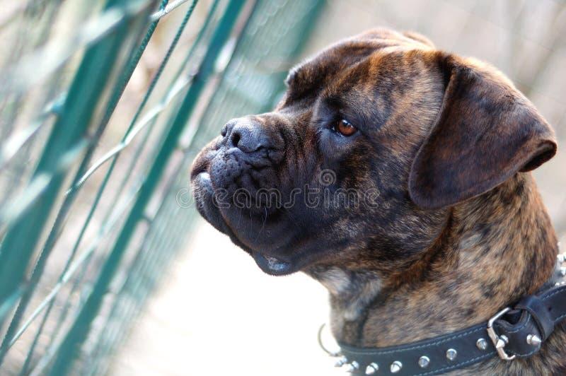 Σκυλί μαστήφ του Bull στοκ εικόνες με δικαίωμα ελεύθερης χρήσης