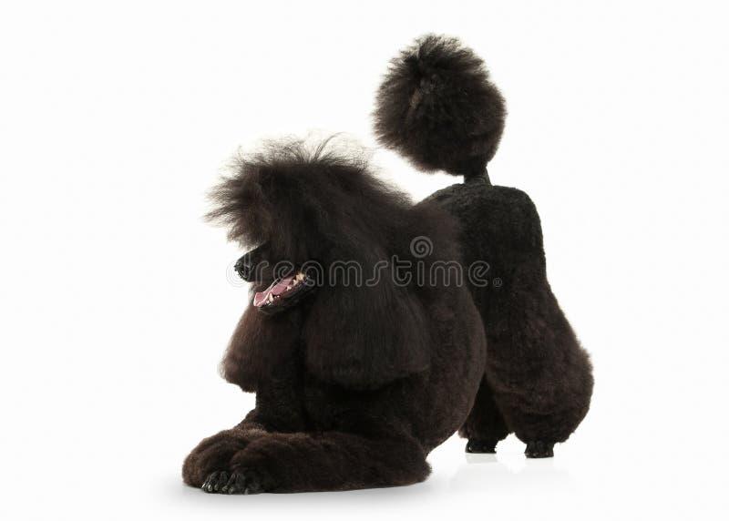 Σκυλί Μαύρο poodle μεγάλο μέγεθος που απομονώνεται στο άσπρο υπόβαθρο στοκ εικόνα με δικαίωμα ελεύθερης χρήσης