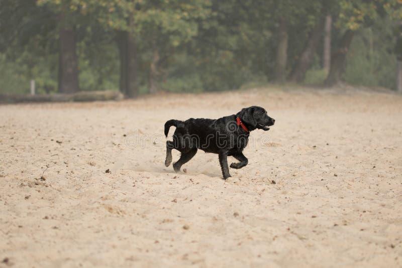 Σκυλί, μαύρο retriever του Λαμπραντόρ που τρέχει στην άμμο στοκ εικόνα