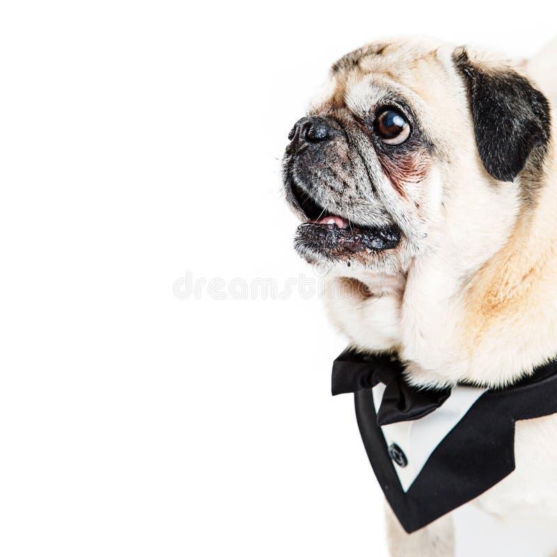 Σκυλί μαλαγμένου πηλού που φορά το τετράγωνο κινηματογραφήσεων σε πρώτο πλάνο σμόκιν στοκ φωτογραφίες με δικαίωμα ελεύθερης χρήσης