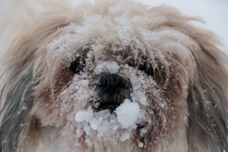 Σκυλί με τη μύτη του που καλύπτεται στο χιόνι στοκ φωτογραφίες με δικαίωμα ελεύθερης χρήσης