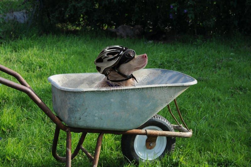 Σκυλί με το κράνος και προστατευτικά δίοπτρα που κάθονται σε μια χειράμαξα στοκ φωτογραφία με δικαίωμα ελεύθερης χρήσης