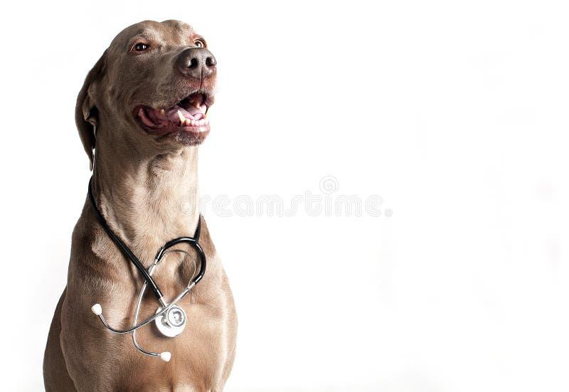 Σκυλί με το στηθοσκόπιο στοκ φωτογραφία