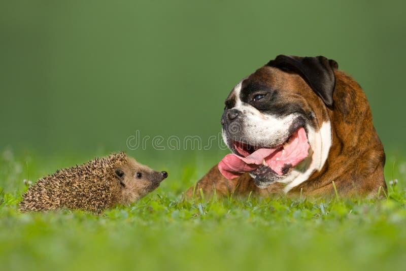 Σκυλί/μπόξερ και σκαντζόχοιροι στοκ φωτογραφίες με δικαίωμα ελεύθερης χρήσης