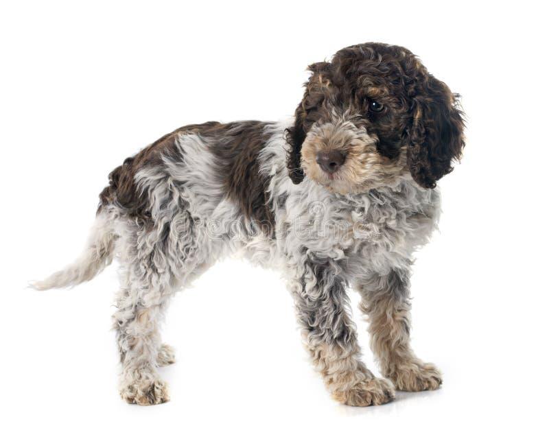 Σκυλί νερού Romagna στοκ φωτογραφία με δικαίωμα ελεύθερης χρήσης