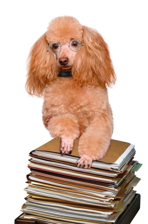 Σκυλί πίσω από έναν ψηλό σωρό των βιβλίων στοκ φωτογραφίες