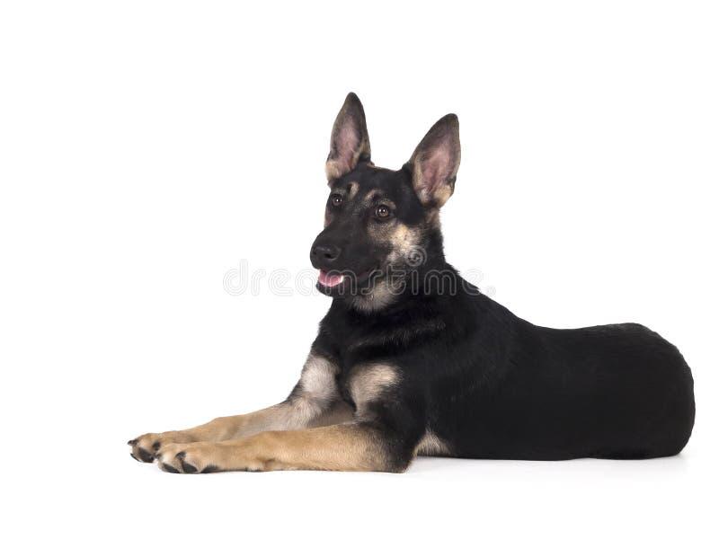 Σκυλί ποιμένων μισό-φυλής στοκ φωτογραφία με δικαίωμα ελεύθερης χρήσης