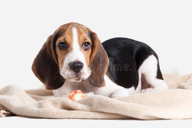 Σκυλί Πορτρέτο κουταβιών λαγωνικών σε ένα άσπρο υπόβαθρο στοκ φωτογραφία