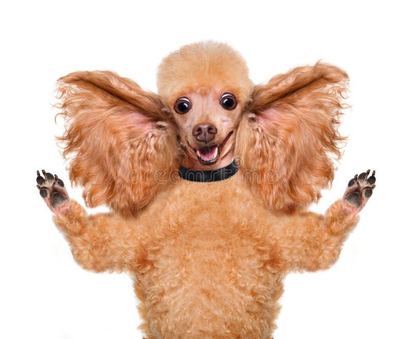 Σκυλί που ακούει με τα μεγάλα αυτιά στοκ φωτογραφία