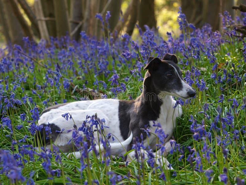 Σκυλί που βάζει στα λουλούδια στοκ φωτογραφία με δικαίωμα ελεύθερης χρήσης