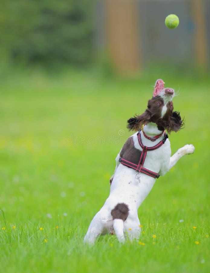 Σκυλί που πηδά για τη σφαίρα στοκ φωτογραφίες