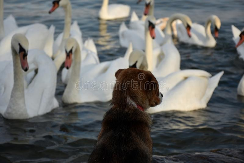 Σκυλί που προσέχει τους κύκνους στοκ φωτογραφίες