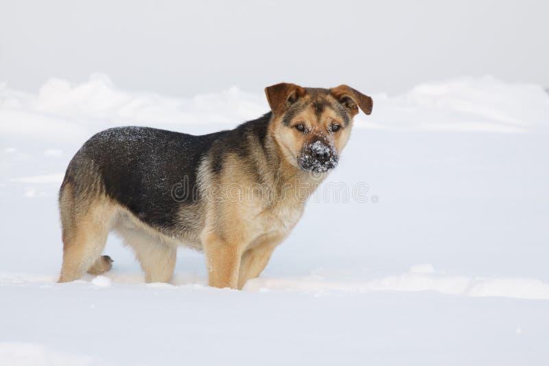 Σκυλί που στέκεται σε έναν χιονώδη τομέα στοκ εικόνες