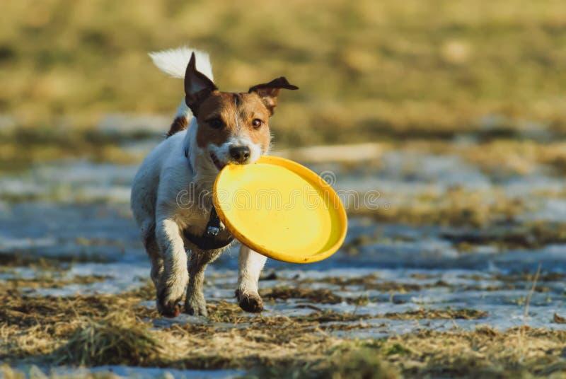 Σκυλί που φέρνει τον κίτρινο πλαστικό δίσκο που περπατά στο λειώνοντας χιόνι στοκ φωτογραφίες