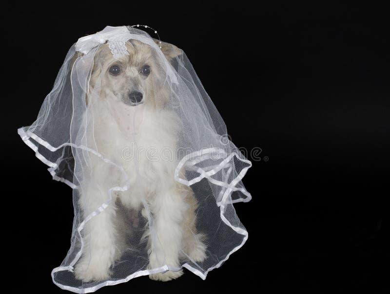 Σκυλί που φορά ένα νυφικό πέπλο στοκ εικόνες με δικαίωμα ελεύθερης χρήσης