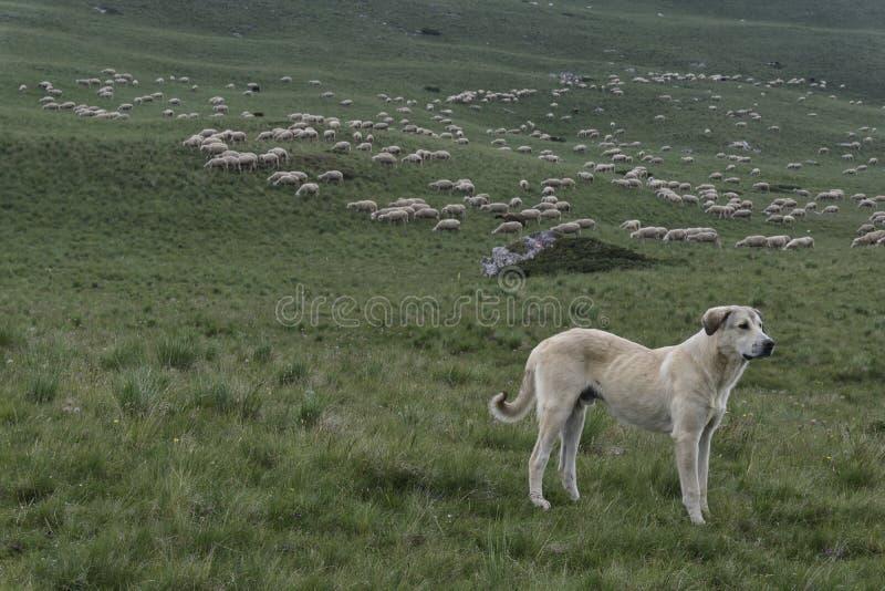 Σκυλί που φρουρεί ένα μεγάλο κοπάδι των προβάτων στοκ εικόνα