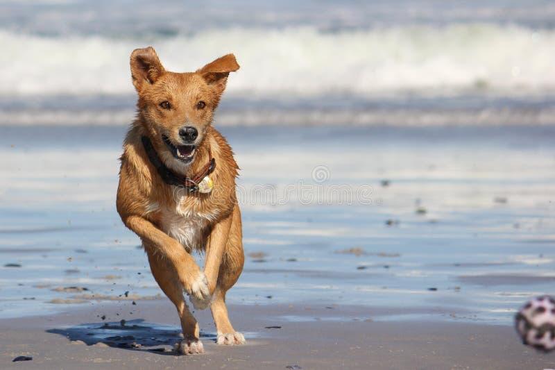 Σκυλί που χαράζει τη σφαίρα στην παραλία στοκ φωτογραφίες