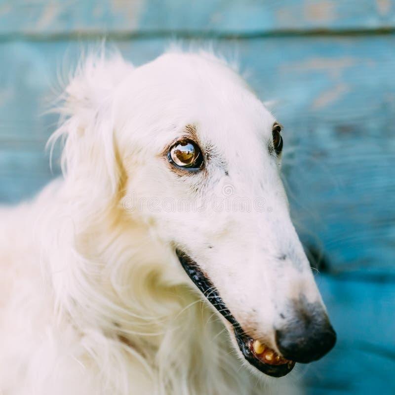 Σκυλί ρωσικό Borzoi Wolfhound στοκ φωτογραφία