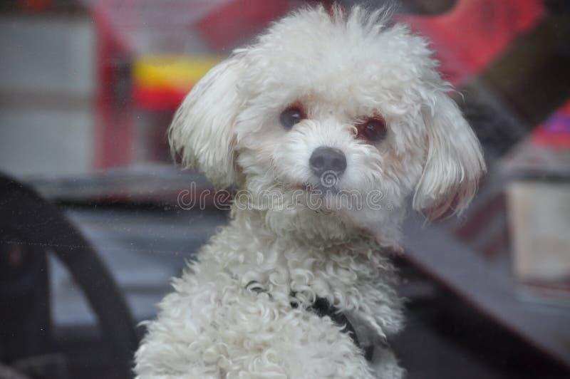Σκυλί σε ένα παράθυρο στοκ φωτογραφίες με δικαίωμα ελεύθερης χρήσης
