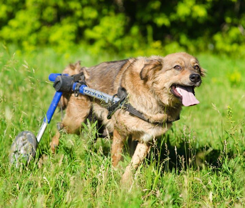 Σκυλί σε ένα whelchair στοκ φωτογραφίες με δικαίωμα ελεύθερης χρήσης