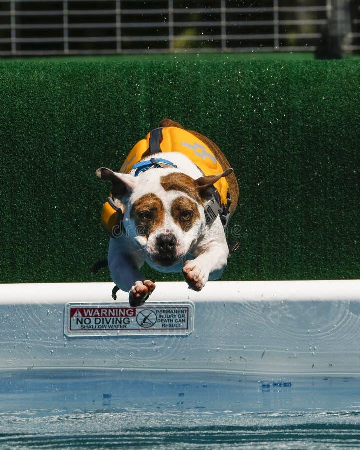 Σκυλί σε μια επιπλέουσα φανέλλα που βουτά στη λίμνη στοκ φωτογραφία με δικαίωμα ελεύθερης χρήσης