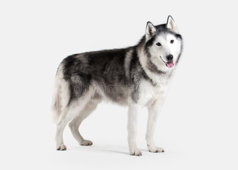 Σκυλί Σιβηρικός γεροδεμένος στην άσπρη ανασκόπηση στοκ εικόνα με δικαίωμα ελεύθερης χρήσης