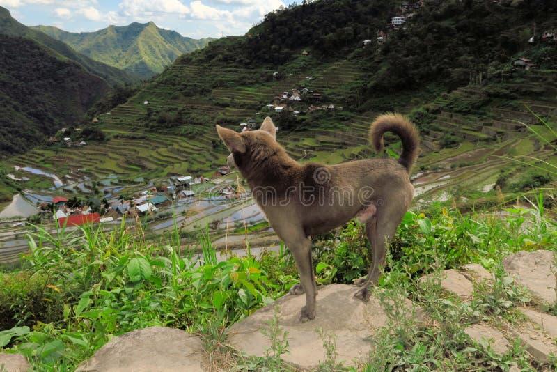 Σκυλί στα πεζούλια ρυζιού της ΟΥΝΕΣΚΟ σε Batad, Φιλιππίνες στοκ φωτογραφία
