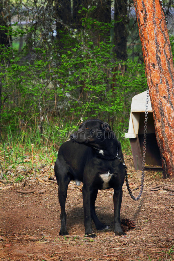 Σκυλί στην αλυσίδα στοκ φωτογραφία με δικαίωμα ελεύθερης χρήσης