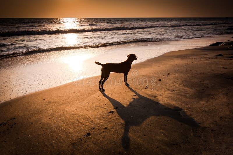 Σκυλί στην τροπική παραλία κάτω από τον ήλιο βραδιού στοκ εικόνες