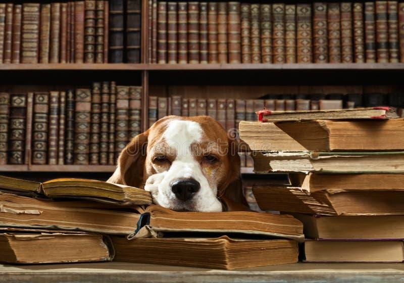 Σκυλί στη βιβλιοθήκη στοκ φωτογραφίες με δικαίωμα ελεύθερης χρήσης