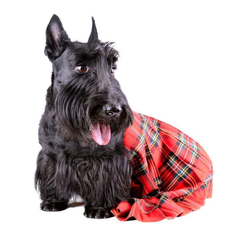 Σκυλί στη σκωτσέζικη φούστα στοκ φωτογραφία με δικαίωμα ελεύθερης χρήσης