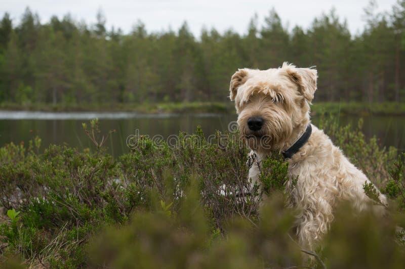 Σκυλί στον τραχύ στοκ εικόνα