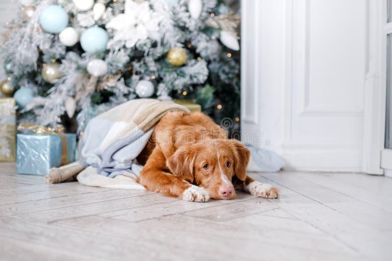 Σκυλί στο τοπίο, τις διακοπές και το νέο έτος, Χριστούγεννα, διακοπές και ευτυχής στοκ εικόνα με δικαίωμα ελεύθερης χρήσης