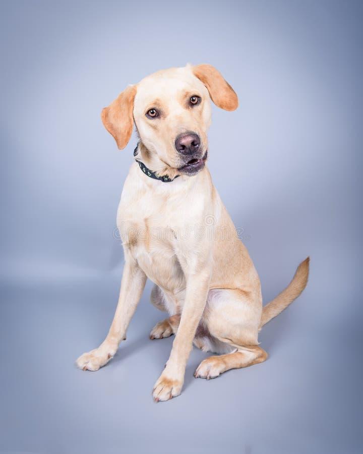 Σκυλί στο υπόβαθρο Λήφθείτε σε ένα στούντιο στοκ εικόνες με δικαίωμα ελεύθερης χρήσης