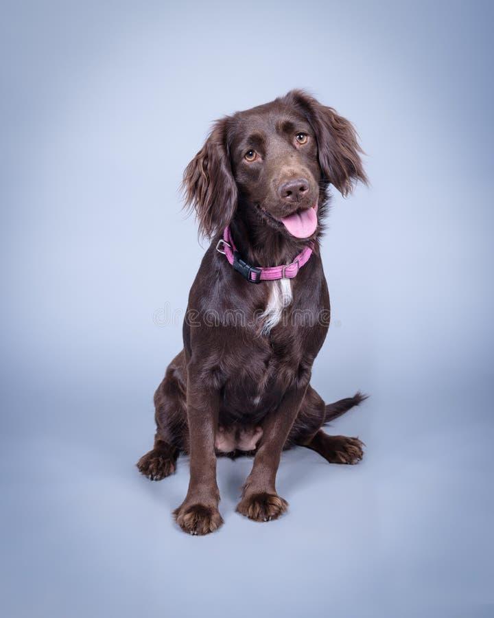 Σκυλί στο υπόβαθρο Λήφθείτε σε ένα στούντιο στοκ φωτογραφίες