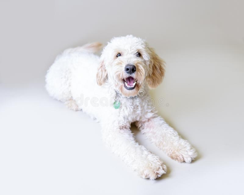 Σκυλί στο υπόβαθρο Λήφθείτε σε ένα στούντιο στοκ φωτογραφία με δικαίωμα ελεύθερης χρήσης