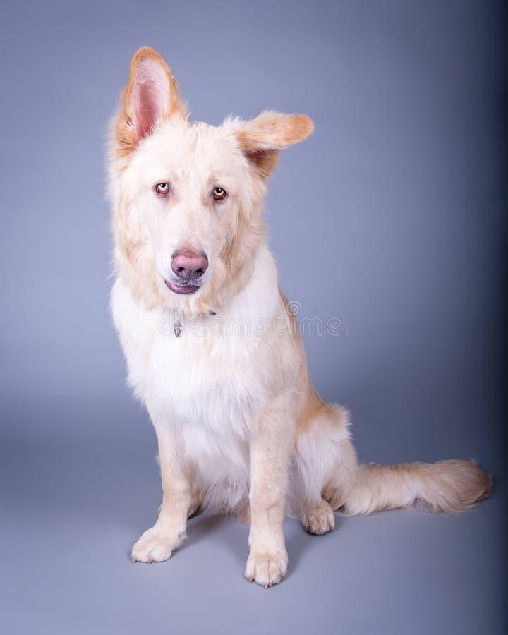 Σκυλί στο υπόβαθρο Λήφθείτε σε ένα στούντιο στοκ εικόνα