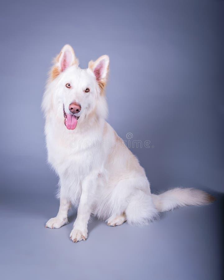 Σκυλί στο υπόβαθρο Λήφθείτε σε ένα στούντιο στοκ εικόνα με δικαίωμα ελεύθερης χρήσης