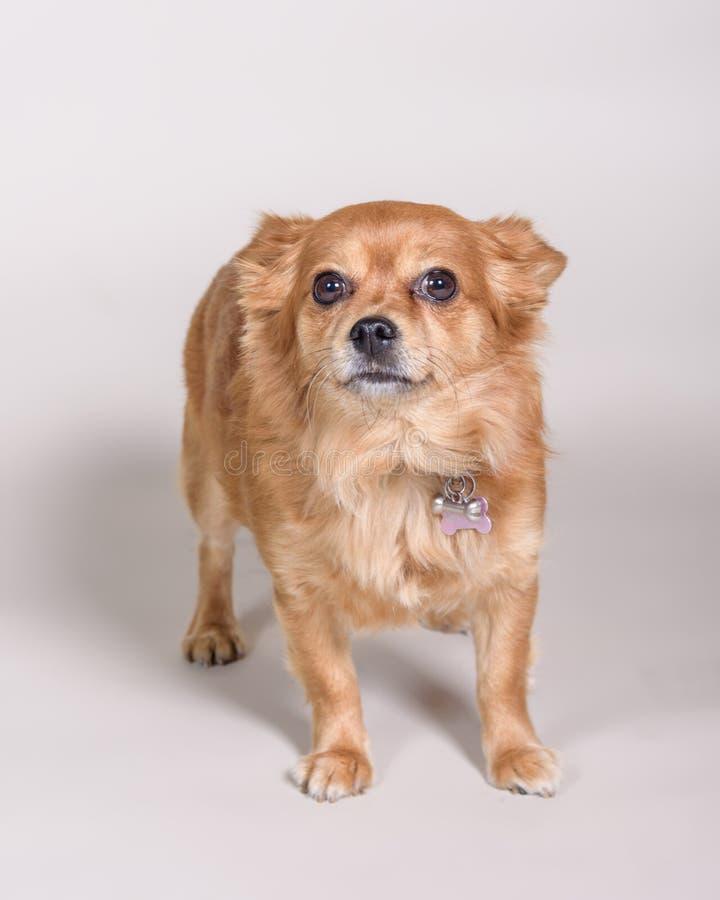Σκυλί στο υπόβαθρο Λήφθείτε σε ένα στούντιο στοκ φωτογραφίες με δικαίωμα ελεύθερης χρήσης