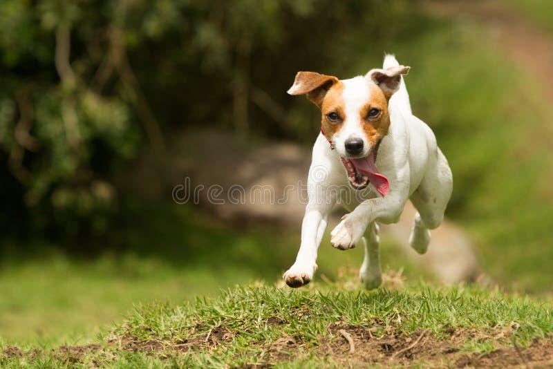Σκυλί τεριέ εφημερίων του Jack Russell στοκ φωτογραφία με δικαίωμα ελεύθερης χρήσης