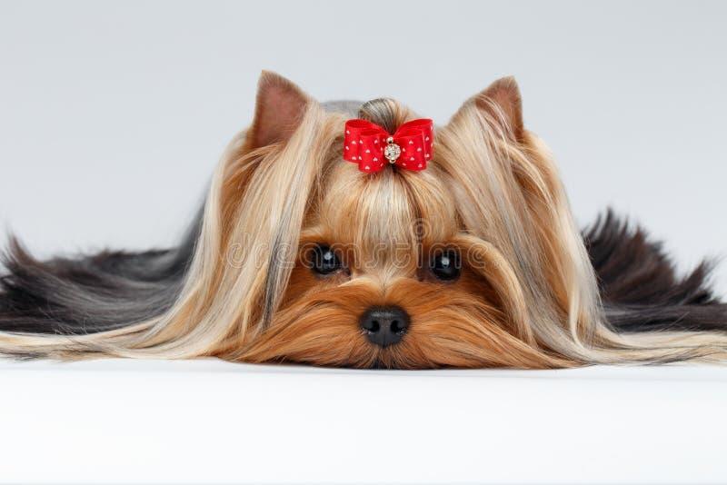 Σκυλί τεριέ του Γιορκσάιρ πορτρέτου κινηματογραφήσεων σε πρώτο πλάνο που βρίσκεται στο λευκό στοκ φωτογραφία